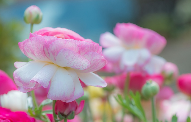 Фото обои природа, краски, лепестки, сад, бутон