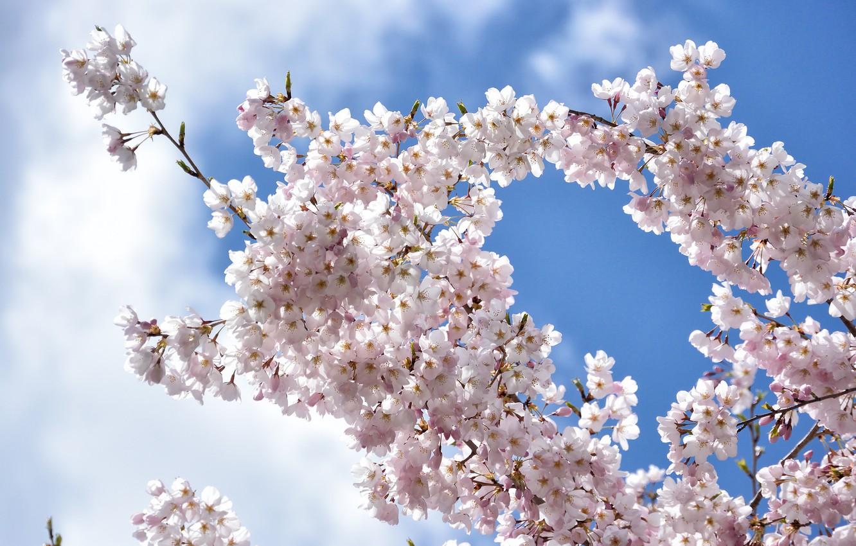 Фото обои небо, цветы, ветка, весна, сад