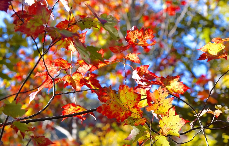 Фото обои осень, листья, дерево, багрянец