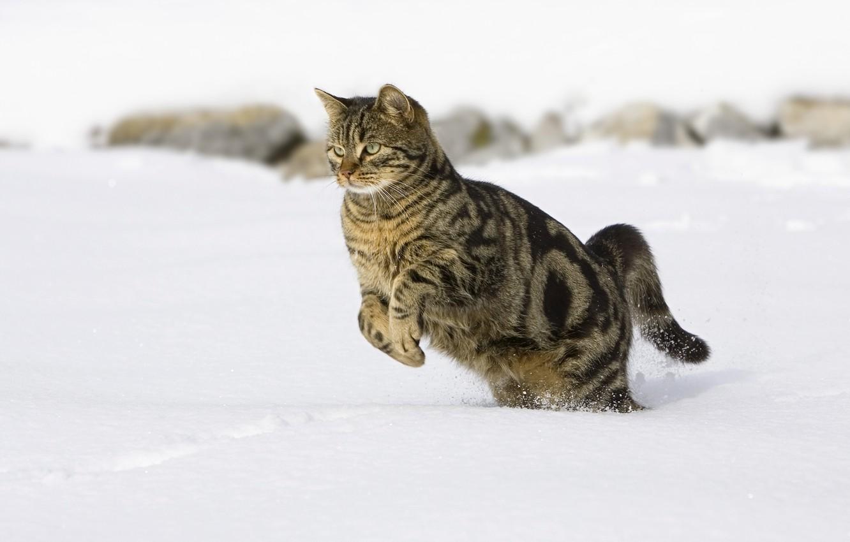 Фото обои кот, снег, прыгает