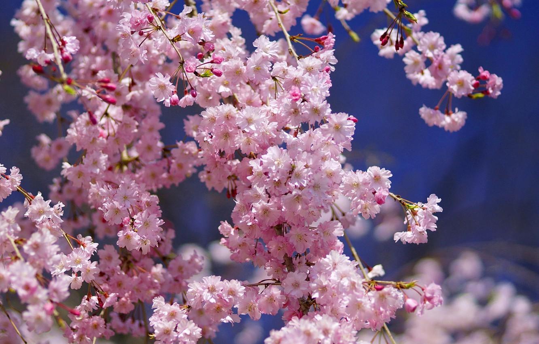 цветы вишни фото картинки как