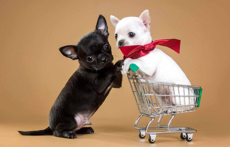 Фото обои щенки, тележка, парочка, бантик, чихуахуа, милые