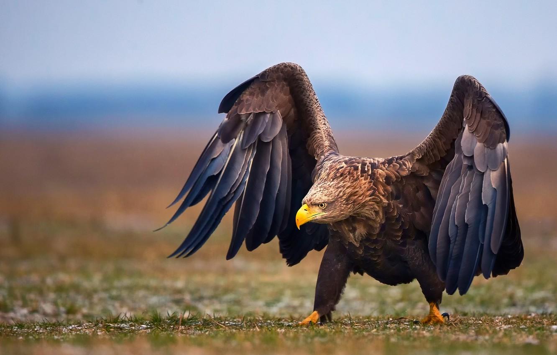 Фото обои птица, крылья, орёл, шагает