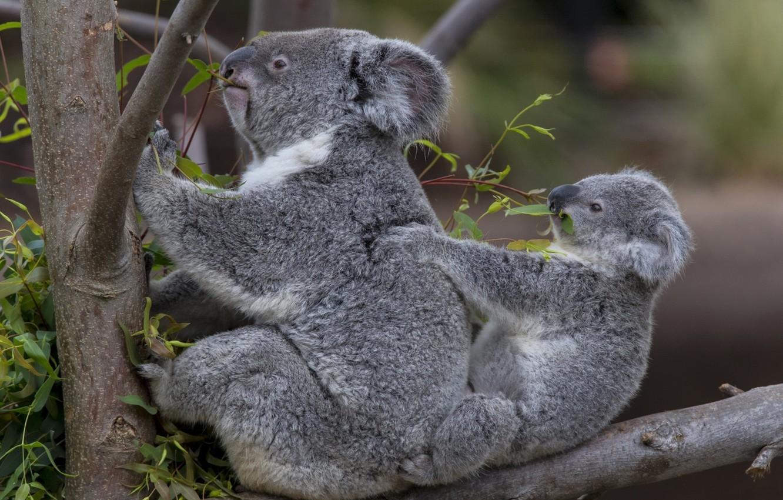 Обои травоядное, австралия, сумчатое. Животные foto 6