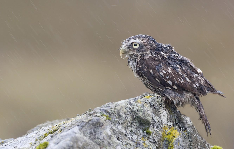 Фото обои скала, дождь, сова, птица, камень, мох, мокрая, птенец