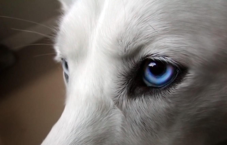 Фото обои глаза, собака, голубые, белая