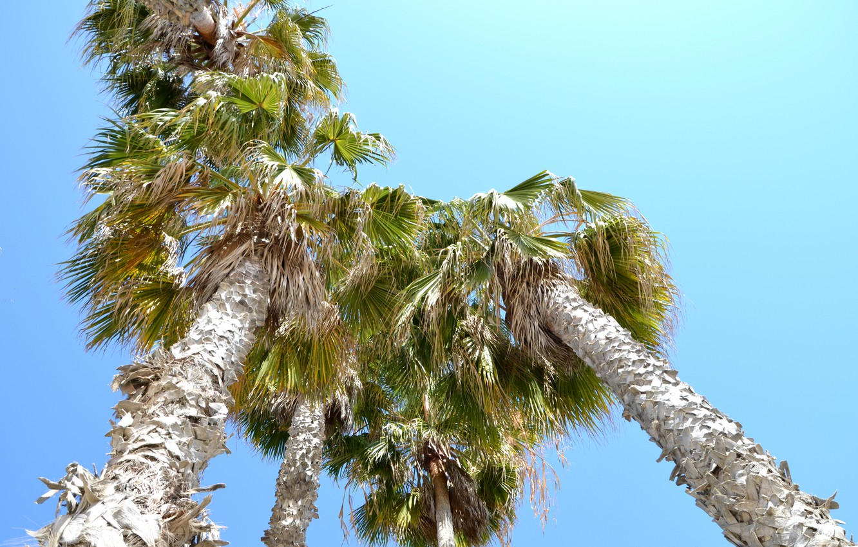 Фото обои пальмы, Калифорния, США, Лос-Анджелес, Санта Моника