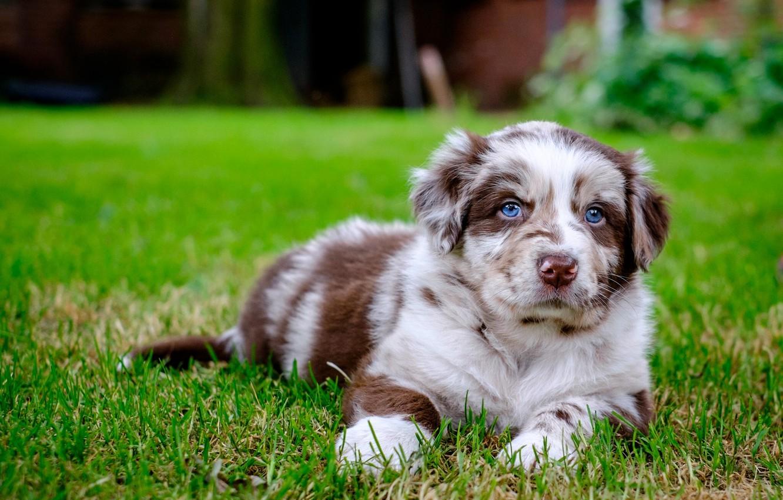 Фото обои взгляд, собака, щенок, Австралийская овчарка, Аусси