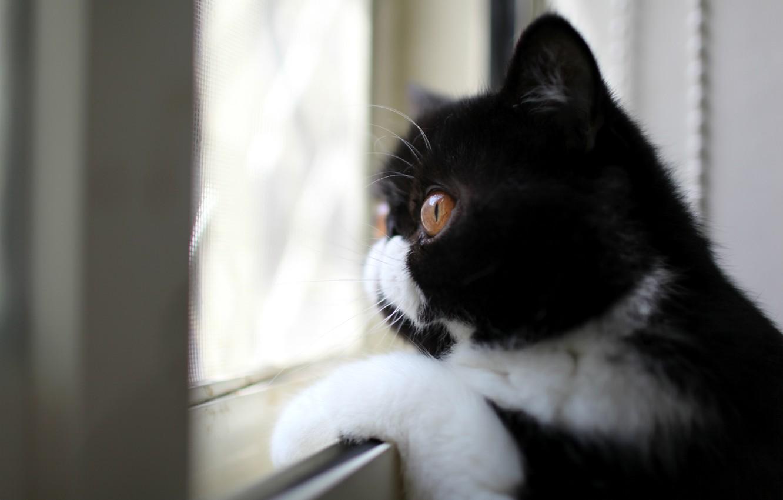 Фото обои взгляд, черно-белый, Кот, профиль, окрас, смотрит в окно