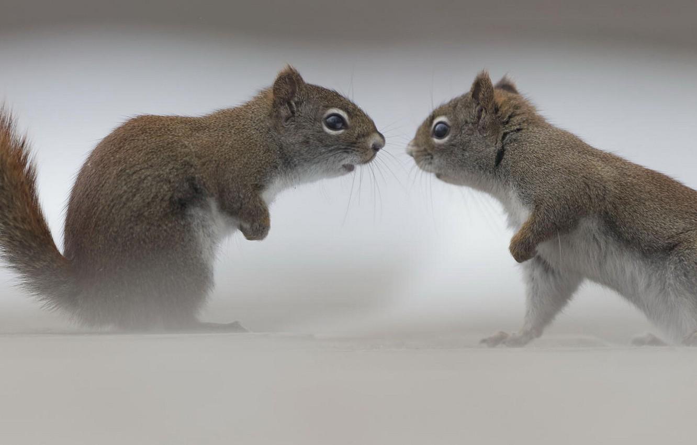 Фото обои встреча, противостояние, белки