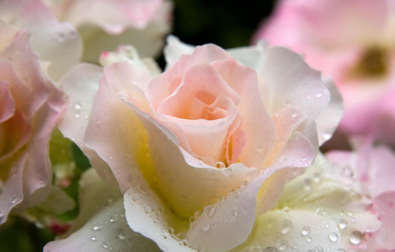 вынудили белые нежные розы фото неверов