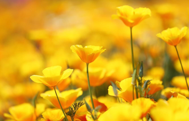 Обои цветы, Эшшольция. Цветы foto 11