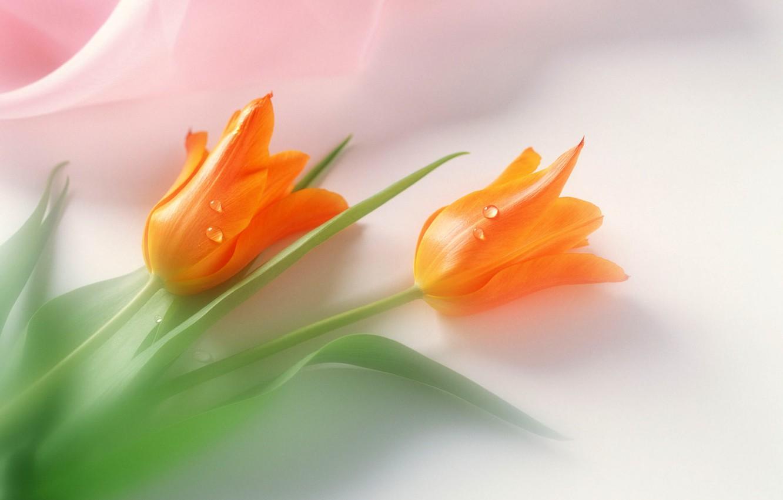 Фото обои настроение, праздник, нежность, тюльпаны