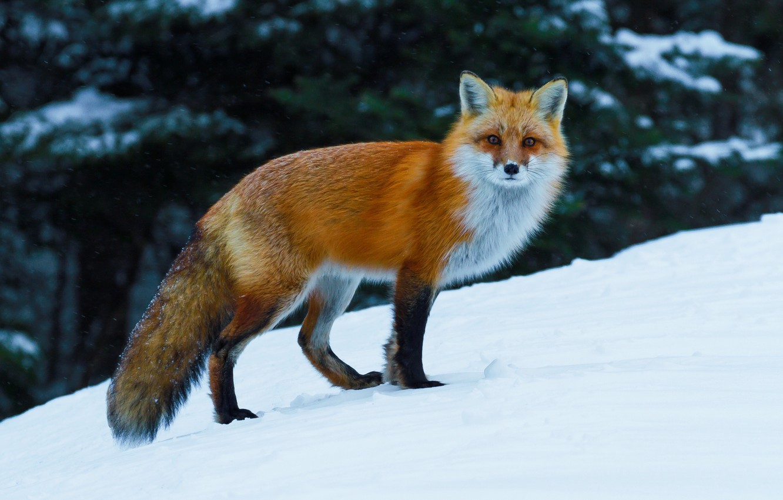 Фото обои зима, снег, лиса, рыжая, лисица
