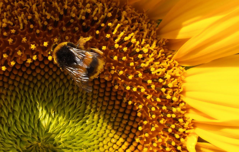 Фото обои пчела, тень, Подсолнух