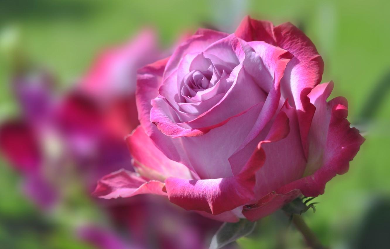 Фото обои цветок, роза, лепестки, бутон