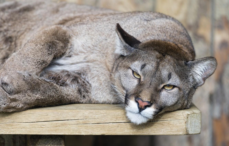 Фото обои кошка, взгляд, пума, горный лев, кугуар, ©Tambako The Jaguar