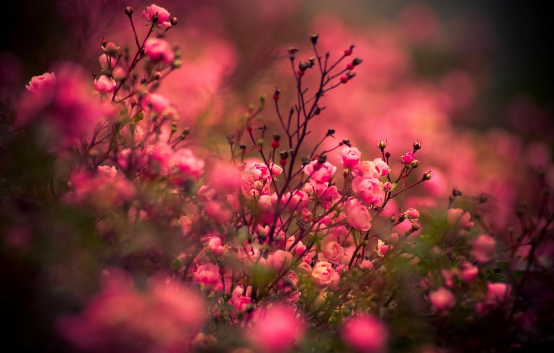 Фото обои розы, Цветы, rose, flower, nature, flowers, roses