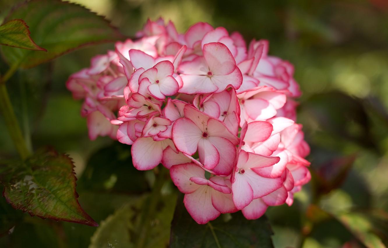 Фото обои макро, гортензия, соцветие