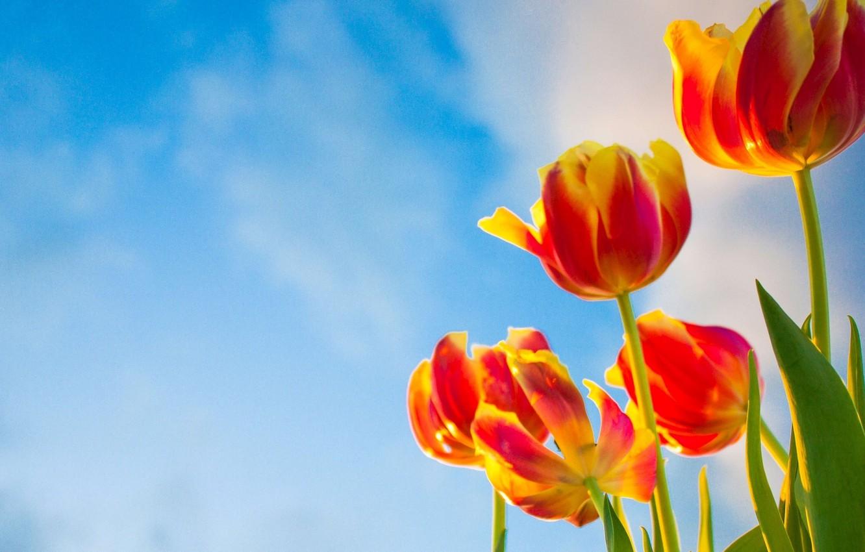 Фото обои небо, цветы, фон, widescreen, обои, тюльпаны, wallpaper, цветочки, широкоформатные, flowers, background, полноэкранные, HD wallpapers, широкоэкранные, …