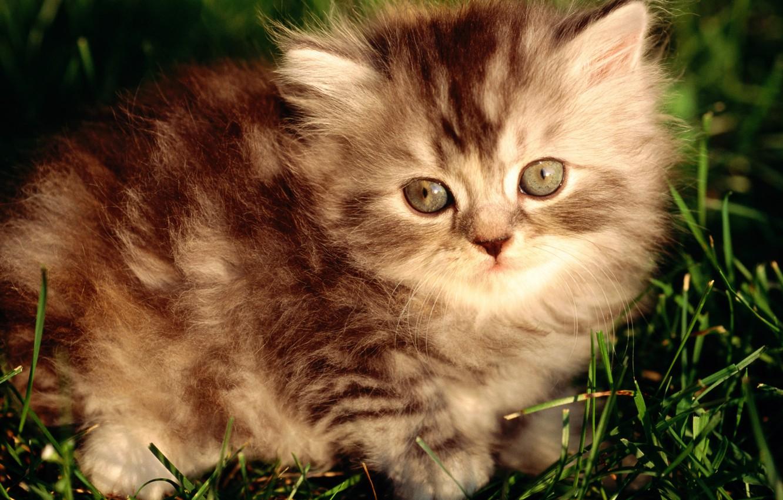 Фото обои пушистый, полосатый, серый котенок