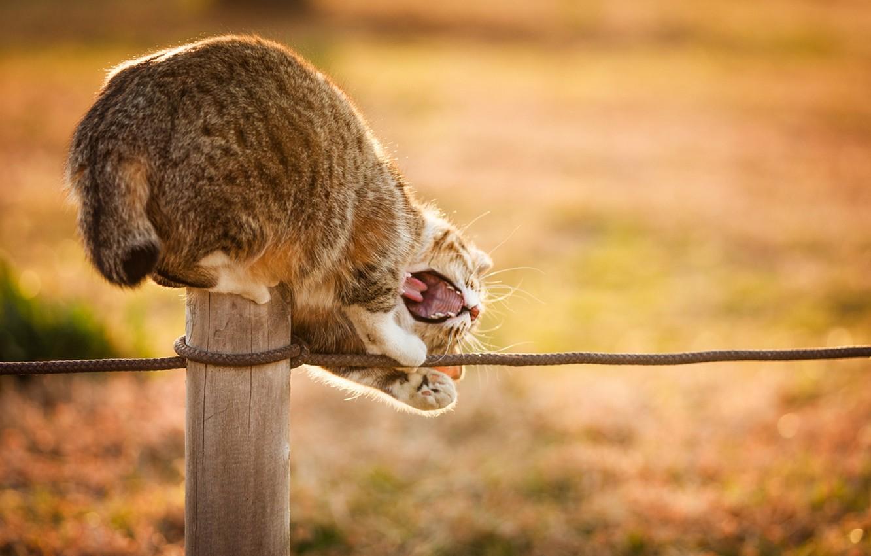 Фото обои кошка, кот, солнце, природа, веревка, пасть, играет, столбик