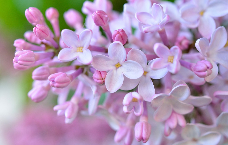 Фото обои макро, цветки, сирень, соцветие