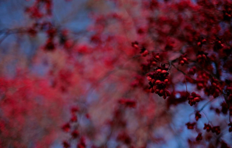 Фото обои синий, красный, Дерево, размытость, плоды, боке