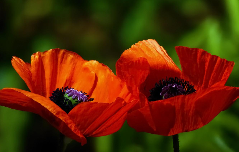 Фото обои макро, природа, растение, маки, лепестки