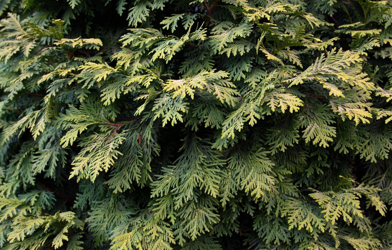 Фото обои green, leaves, tree, plant, pine