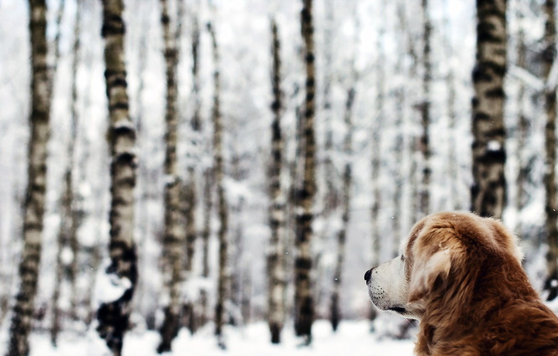 Фото обои зима, лес, собака