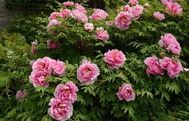 Фото обои розовый, куст, пионы