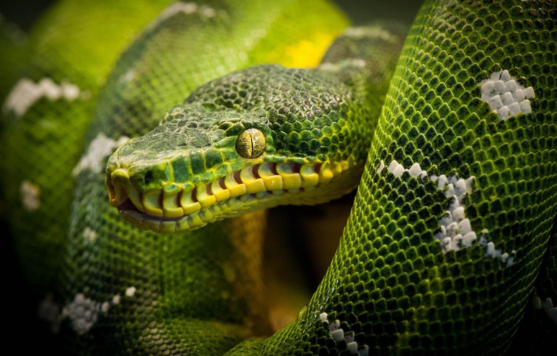 Фото обои змея, питон, snake, рептилия, reptile
