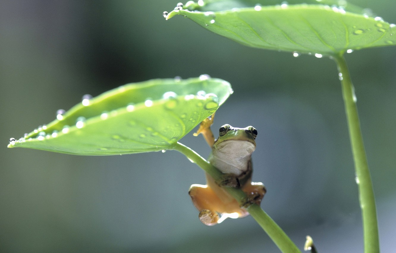 Фото обои листья, лягушка, frog