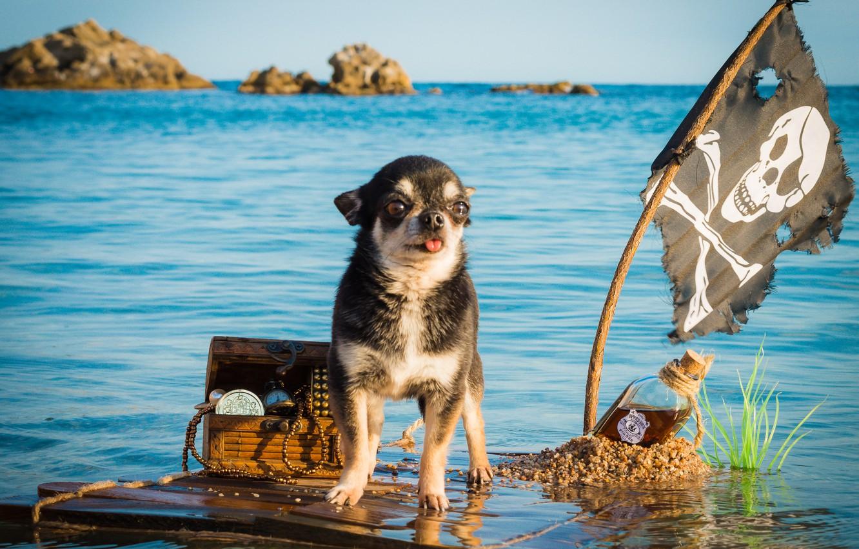 Фото обои море, бутылка, собака, флаг, пират, капитан, сундук, сокровища, чихуахуа, плот, плавание, пёсик, Весёлый Роджер, собачонка