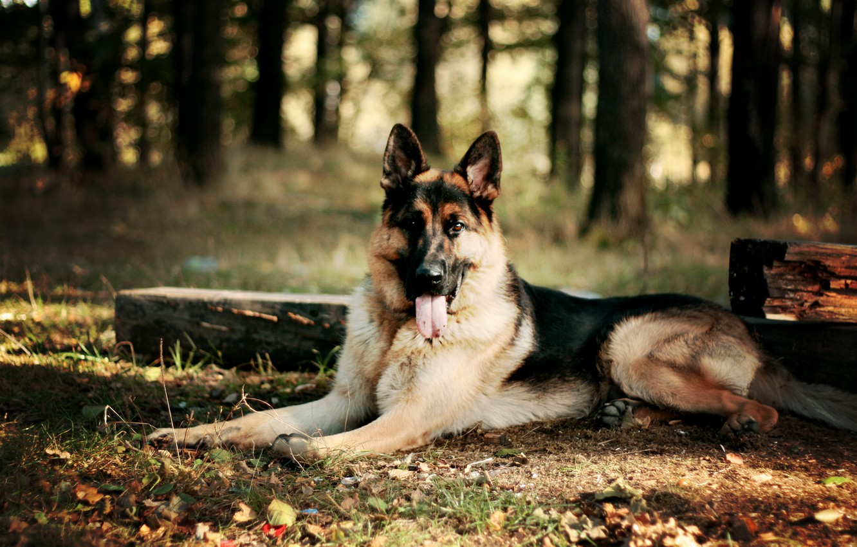 Фото обои лес, листья, собака, овчарка