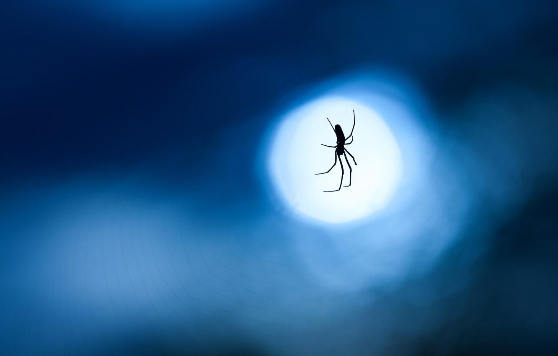 Фото обои макро, ночь, синий, фон, луна, паутина, Паук