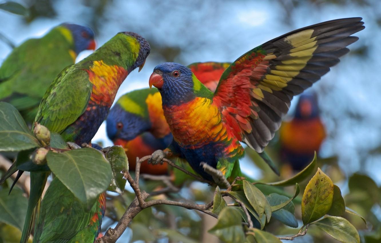 Фото обои Rainbow, birds, Australian, parrots, Lorikeets