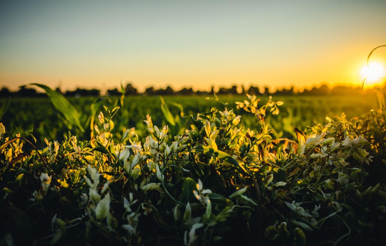 Фото обои поле, небо, трава, деревья, цветы, горизонт, восход солнца