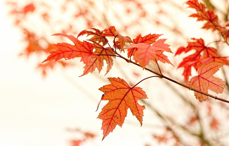 Фото обои Макро, Природа, Осень, Листья, Ветки, Клён