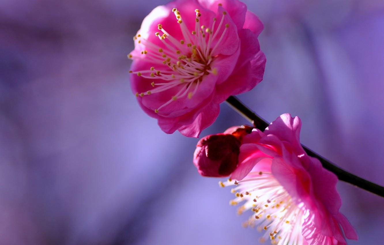 Фото обои фиолетовый, макро, цветы, веточка, фон, дерево, сиреневый, лепестки, размытость, бутон, малиновые, Слива