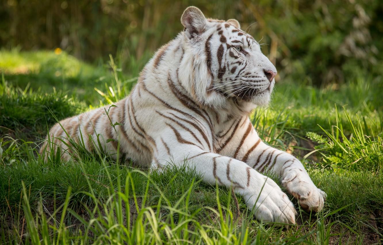 Крещением, открытки белый тигр