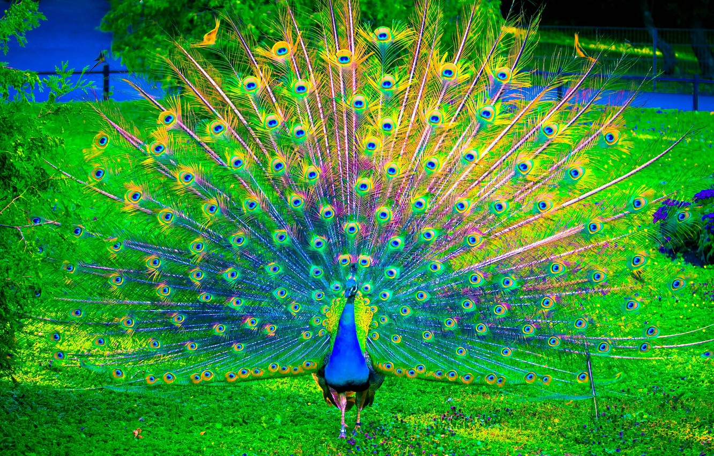 Фото обои nature, birds, color, peacock