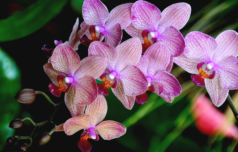 орхидея розовая картинки бузова никого