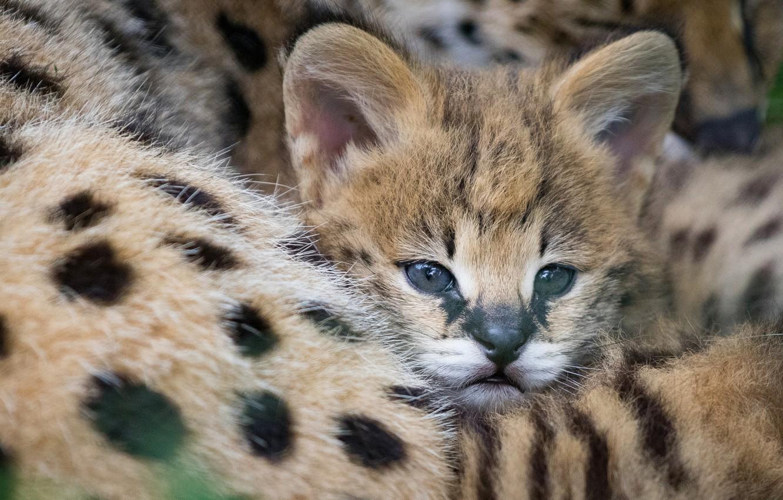кирпичей, картинки семейства кошачьих котят всем