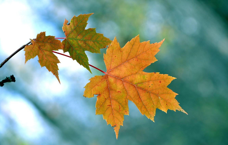 поскольку осень картинки кленовые листья картинки создание дизайн-проекта