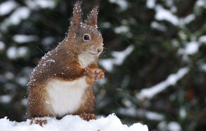 Фото обои зима, снег, природа, животное, белка, грызун