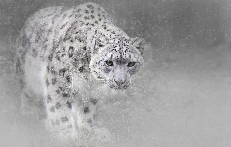 Фото обои зима, кошка, снег, снежный барс