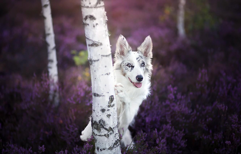Фото обои взгляд, собака, берёза