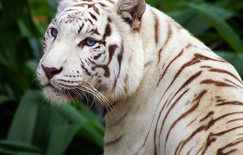 Фото обои глаза, полоски, белый тигр, красивый